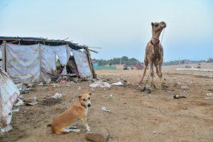 ラクダはイヌより大きい は正しいですか 間違っていますか 一般
